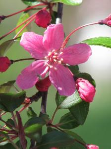 13. Apple Blossom, Iowa City, IA